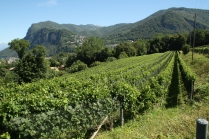 Corteglia - Vineyards