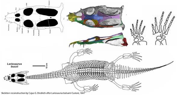 Lariosaurus drawings