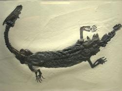 Lariosaurus fossil