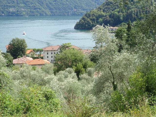 10. Lenno Olive Trees