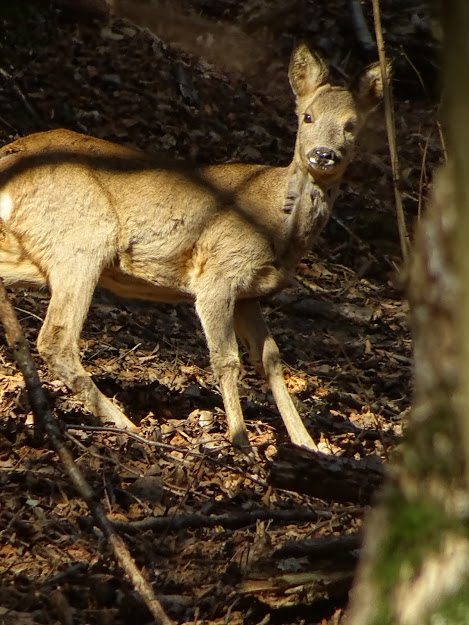 Bisbino deer