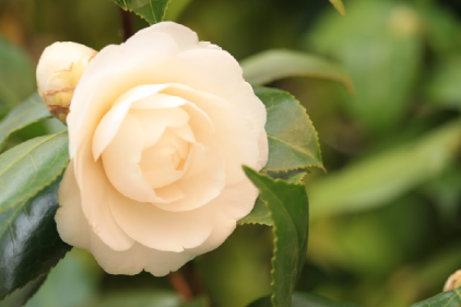 Camellia closeup