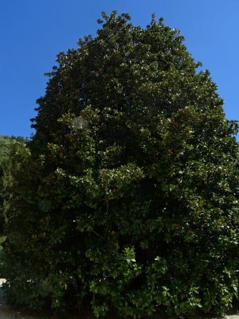 three hundred year magnolia