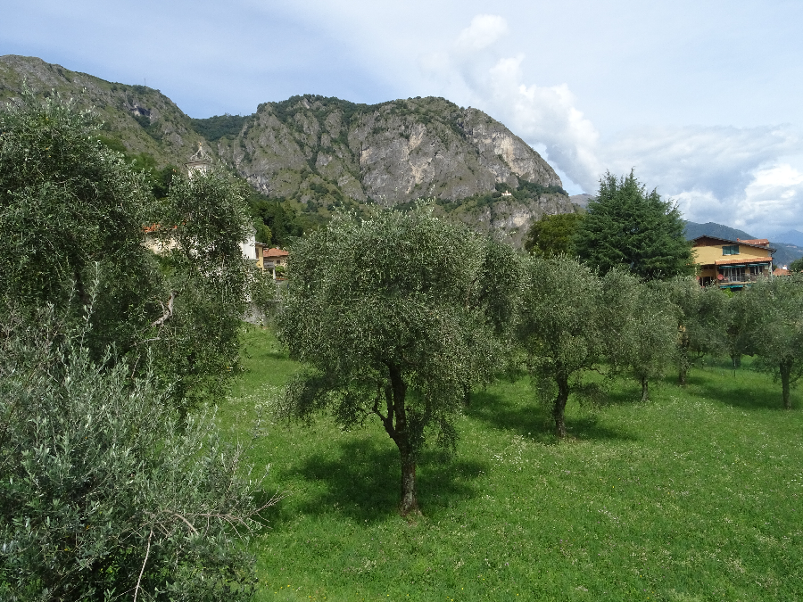 Olive trees at Griante