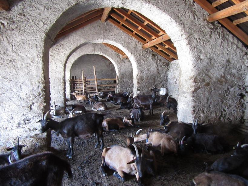 cavargna goats