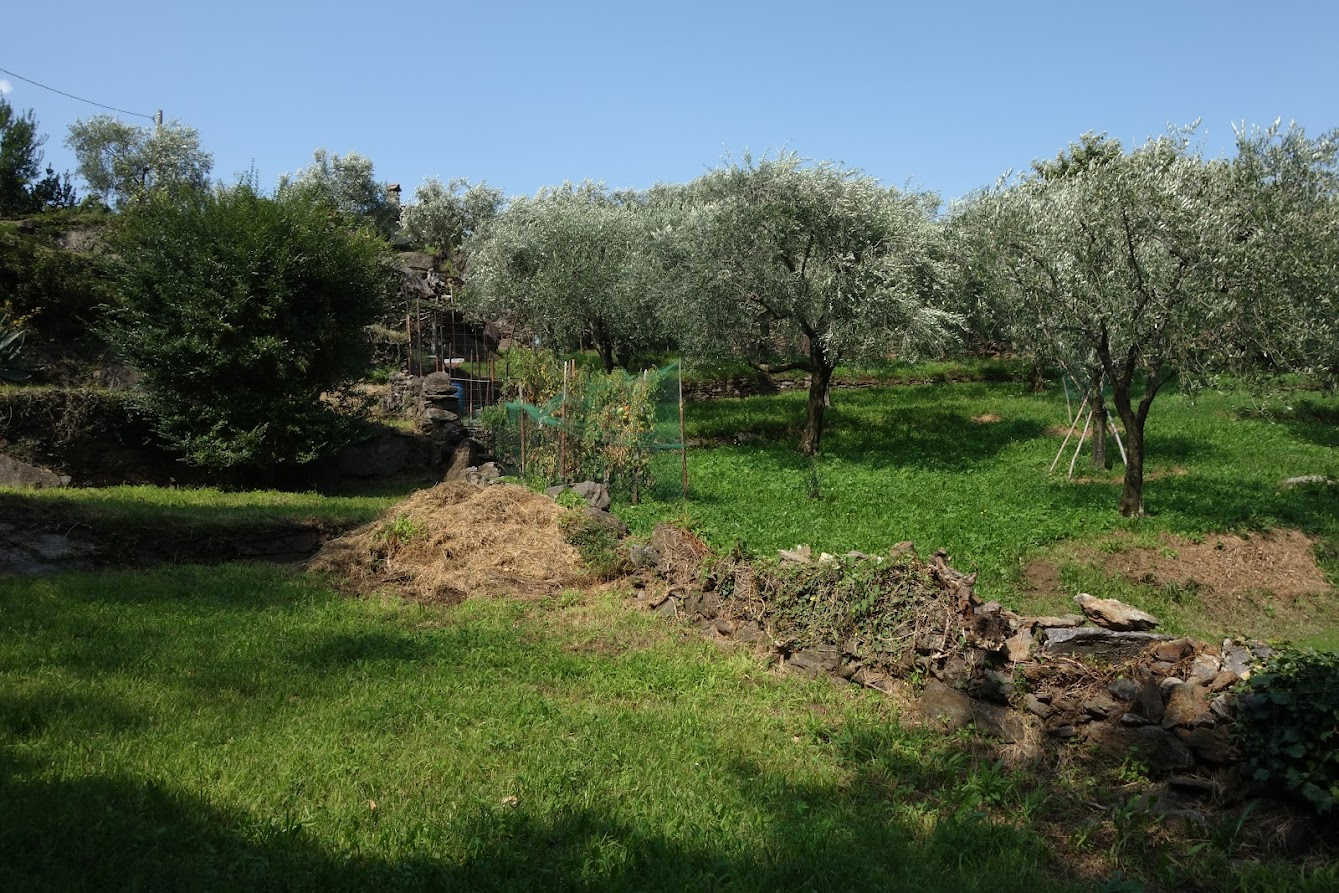 Olive grove in Olgiasca